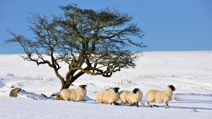 sheep_in_the_snow_3_by_younghappy-d4r26u2