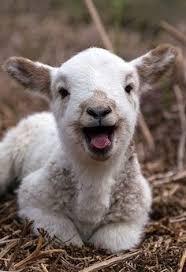 Baaaaaa lamb
