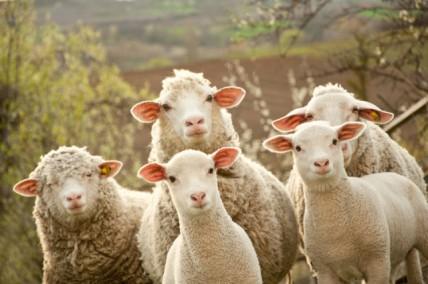sheep-mob-e1405001589722