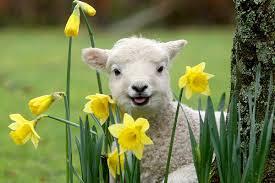 happy spring lamb