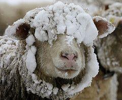 A snow-covered sheep stands on a meadow during snowfalls near the Albispass mountain pass south of Zurich November 22, 2008.    REUTERS/Arnd Wiegmann  (SWITZERLAND)