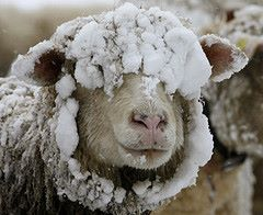 A snow-covered sheep stands on a meadow during snowfalls near the Albispass mountain pass south of Zurich November 22, 2008.    REUTERS/Arnd Wiegmann  (SWITZERLAND)