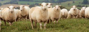 Sheep herd stare