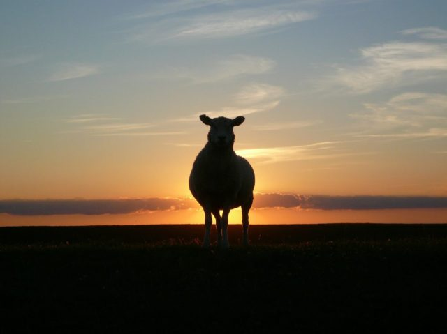 lamb-sunset-50494_1920-1203x902